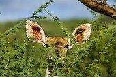Grand Koudou femelle mangeant du feuillage - Bogoria Kenya