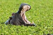 Hippopotamus yawning in water lettuces - Masai Mara Kenya