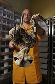 West African Gabon viper's venom removal in a laboratory. Latoxan Laboratory
