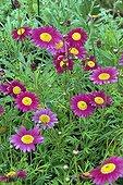 Marguerites 'Supa Surprise' in bloom in a garden