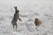 Brown Hares boxing in a frozen meadow in winter - GB