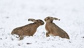 Brown Hares boxing in the snow in winter - GB
