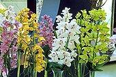 Cymbidium orchids in bloom