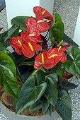 Anthurium in bloom