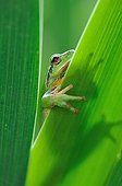Mediterranean tree frog on leaf of Iris - France
