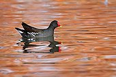 Moorhen on water in autumn - France