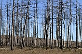 Black pine forest devastated by a storm - Causse Mejean