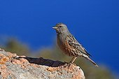 Alpine Accentor on rock by the sea - Corse France