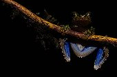Cabrera's Slender-legged Treefrog on branch - French Guiana