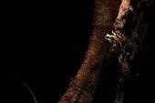 Mission Golden-eyed Treefrog on uttress root - Guiana