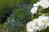 Myosotis and white Peonies in bloom in the garden - France