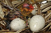 Hatching Common Coot at nest - Lorraine France