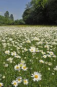 Oxeyedaisies in bloom in a meadow - Lorraine France