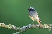 Male Common Redstart on a branch - Lorraine France
