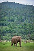 Asian Elephant walking in the grass - Thailand ; Elephant Nature Park