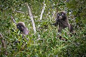 Dusky Leaf Monkeys eating in a tree - Thailand
