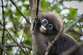 Portrait of Dusky Leaf Monkey in a tree - Thailand