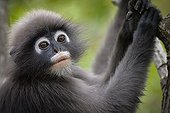 Portrait of Dusky Leaf Monkey - Thailand