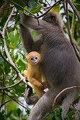 Dusky Leaf Monkey and young in a tree - Thailand