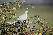 Collared dove on a branch - England UK