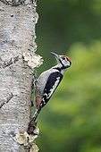 Great-spotted Woodpecker on a trunk - England UK