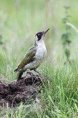 Green woodpecker on ant nest - England UK
