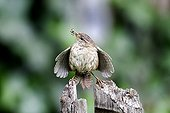 Wren displaying at magpie by nest - England UK