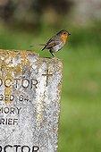 European Robin on grave stone - England UK