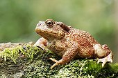 Common Toad on mossy trunk - England UK