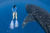 Whale Shark swimming with woman - Yucatan Peninsula Mexico
