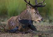 Stag Red deer with Jackdaws looking for ticks - GB