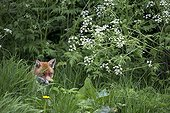 Red Fox standing in a meadow in summer - GB