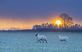 Sheep after a snow storm at sunrise - GB