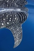 Whale Shark gills and fin under the surface - Mexico