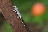Young Crocodile Gecko on wood in a garden - France