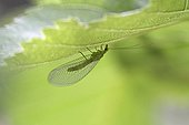 Green Lacewing under a vine leaf - France