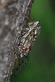 Grey Cicada on the trunk of an ash in summer - France