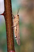 Egyptian Locust on a branch of Black Locust - France