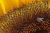 Honey bee on a Sunflower in bloom - France