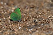 Green Hairstreak on ground - Maures France