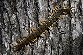 Megarian Banded Centipede on a tree bark - France