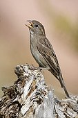Female House Sparrow singing on a stump - Corse France