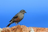 Alpine Accentor on a rock - Corse France