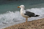 Yellow legged gull at the seaside - Corse France