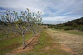 Fig trees plantation - Porquerolles France