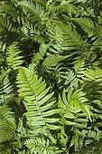 Shaggy Shield Fern 'Hortensis' in a garden