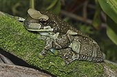 Mission Golden-eyed Treefrog on moss - French Guiana ; horizontal pupils iris gold with a black cross