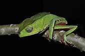 Spotted Monkey Frog on a branch - French Guiana