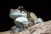 Mission Golden-eyed Treefrog blue - French Guiana