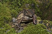 Crested forest toad eating a worm - French Guiana